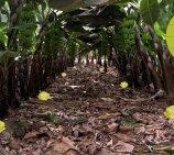 VICEDO MARTÍ presenta una nueva trampa ecológica para el control del picudo negro en el plátano y el banano